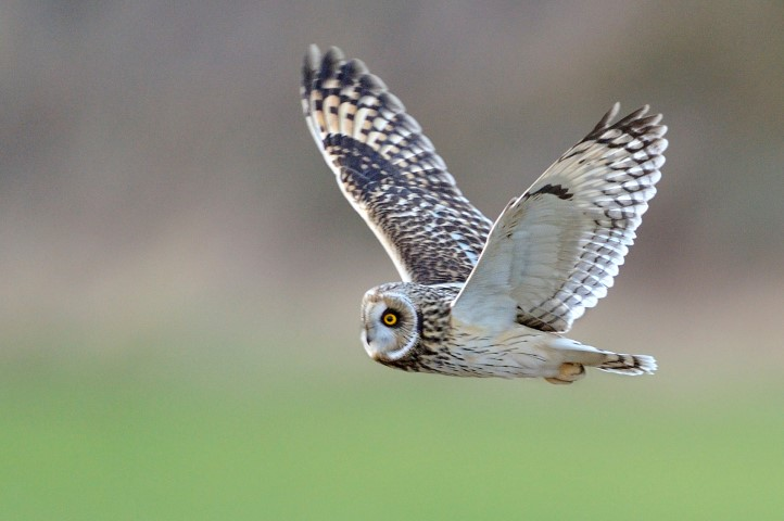 Pic Short eared owl C Andy Rouse VISION