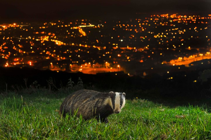 Pic Urban Badger C Terry Whittaker Vision