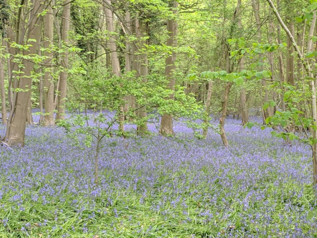 Pic Brandon Reach bluebells Credit Louise Barrack