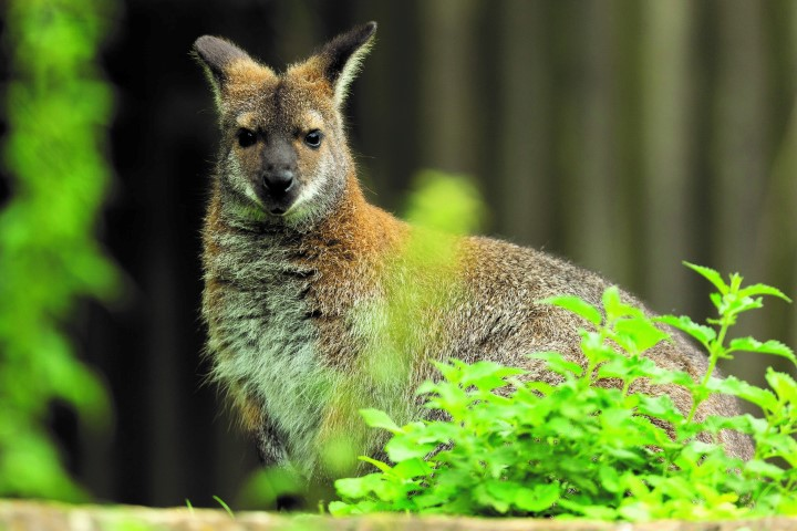 Pic Red necked wallaby Photo by Jason Brown