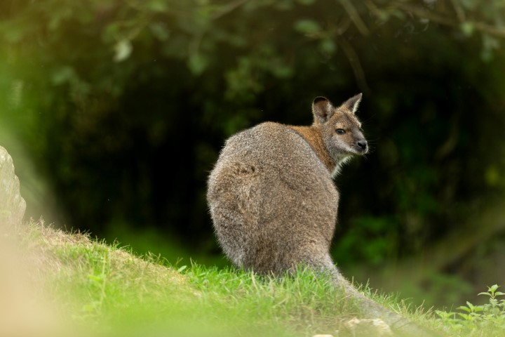 Pic Red necked wallaby making himself at home Photo by Jason Brown