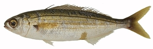 MalDia Silver Bogue known as vopi a most popular catch