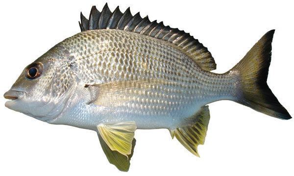 MalDia Silver Bream another popular catch