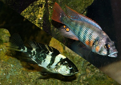 MalDia Varieties of Wrasse