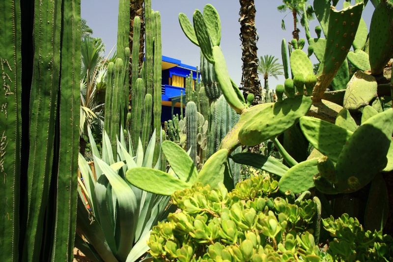 An array of cacti with the blue studio of Majorelles studio behind
