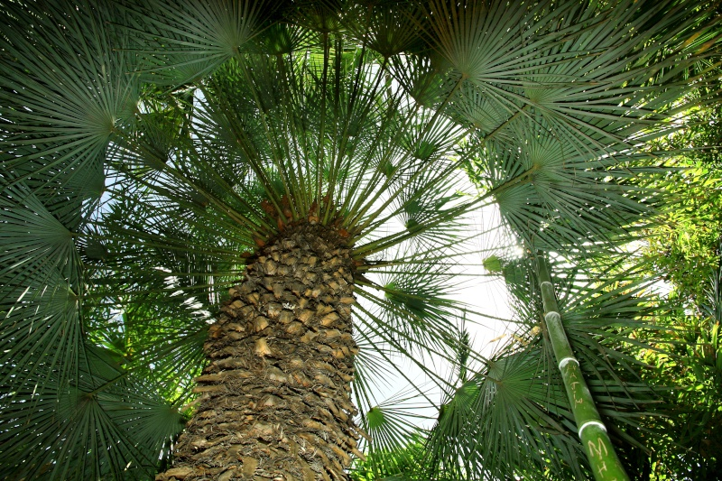 Up through the inner circle of a palm tree