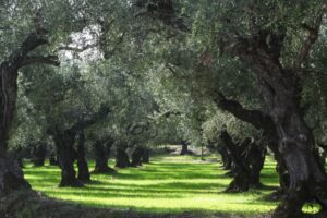 2-Olive-trees-Kings-of-Greece