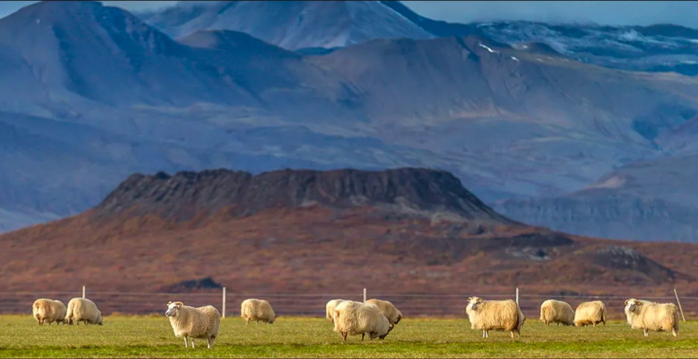 The famous Icelandic sheep