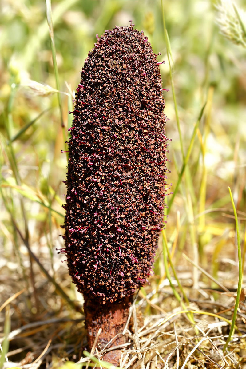 MalDia-03-27-01-21-The-plant-Cynomorium-coccineum-that-grows-on-Fungus-Rock-and-was-said-to-have-curative-powers