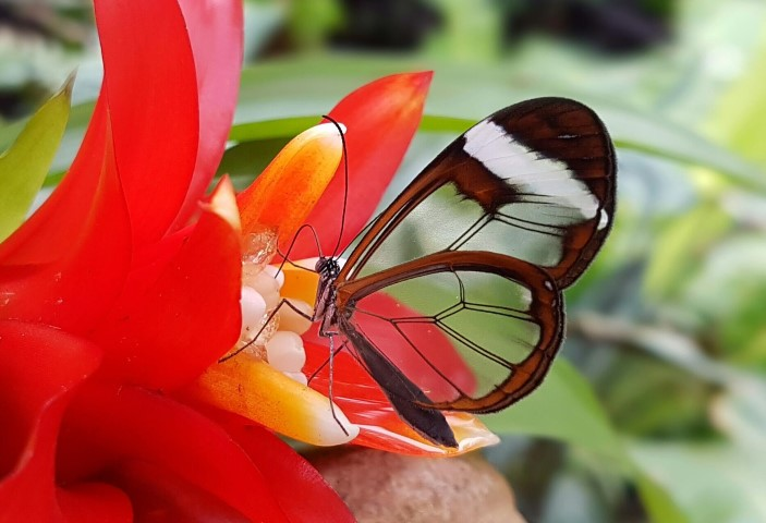 Pic-1.-Butterfly-farm-Glasswing-1