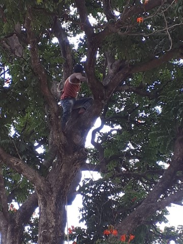 A-Tree-Surgeon-works-his-way-up-the-tree-but-its-not-entirely-clear-that-he-will-be-able-to-cut-branches-without-any-equipment-to-hand