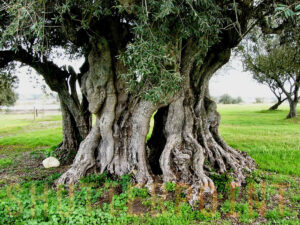 MalDia-12-17-02-21-Olive-tree-olives-cultivated-and-traded-for-Millenniums-and-at-one-time-worth-their-weight-in-gold
