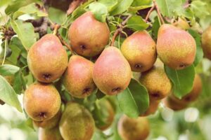 Pic-4.-Pyrus-pears.-Pic-by-Manfred-Richter-of-Pixabay