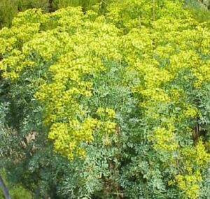 MalDia-06-24-03-21-The-rue-plant-used-to-dissipate-congealed-blood.