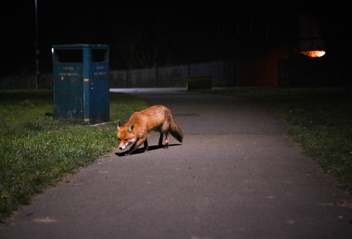 Pic-3.-Nature-Returning-Urban-Fox-Pic-by-Craig-Frick