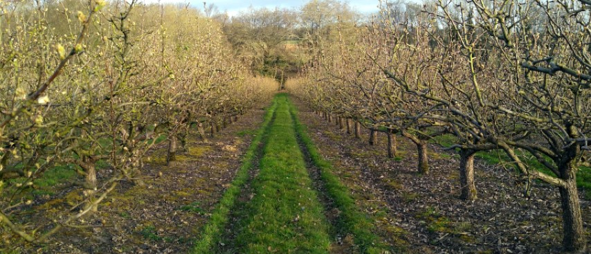 10.-.Rows-of-pears-trees-during-pruning