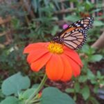 Pic-1.-Monarch-Butterfly