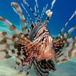 MalDia-01-22-09-21-The-Lionfish-expected-to-invade-Malta-waters-soon