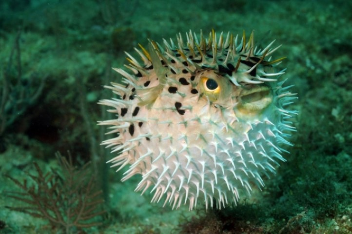 MalDia-04-22-09-21-The-highly-poisonous-Puffer-Fish