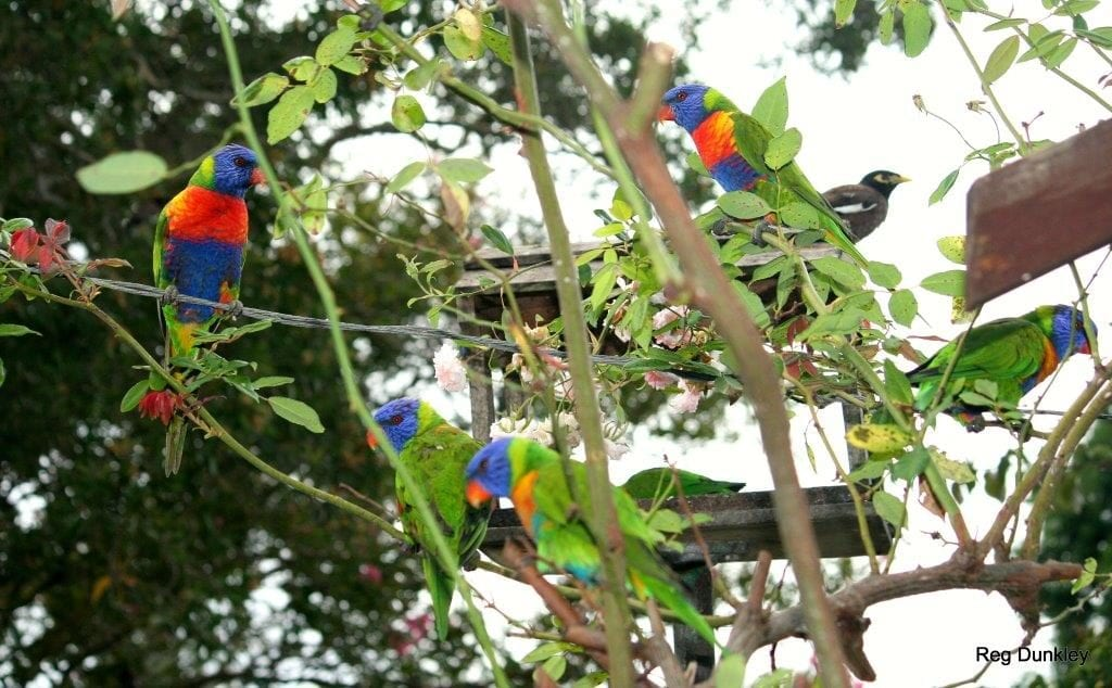 Bird Lorikeet group