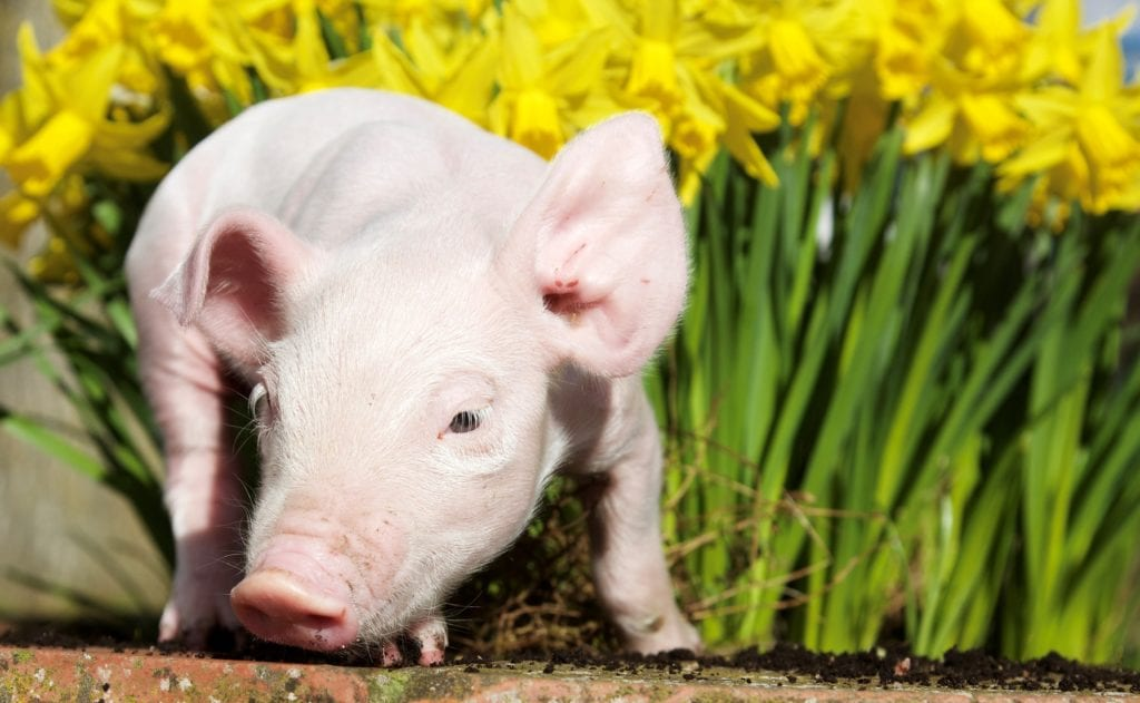 Pic Cute piglet at Hatton