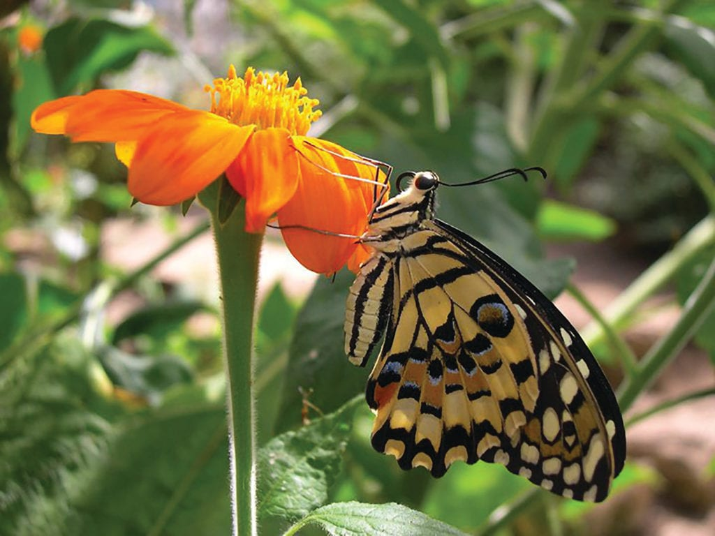Pic Swallowtail butterfly